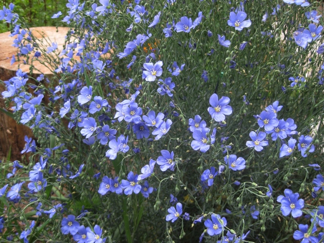 Beautiful blue flax acts like a perennial now