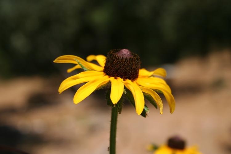 Rudbeckia, Black-eyed Susans