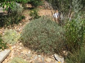 Wallflower (Erysimum 'Bowles' Mauve')