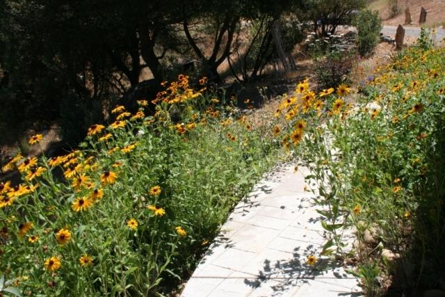 Gloriosa Daisies, Rubeckia hirta in Summer 2007