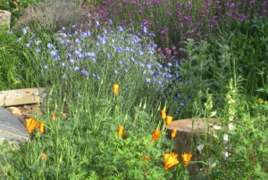 Poppies and blue flax in spring 2010