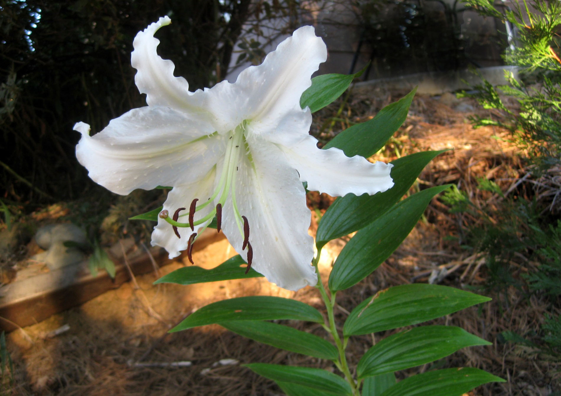 Easter lily in August