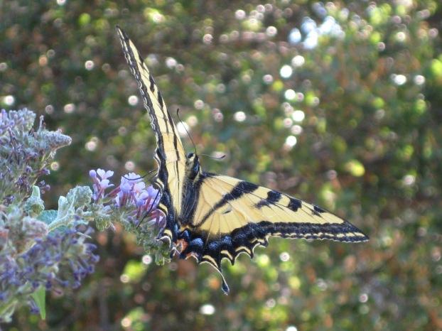 butterfly on the buddleia bush