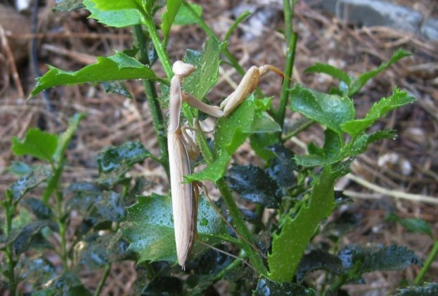 Male mantis. Notice wings are narrower and are just as long as his body.