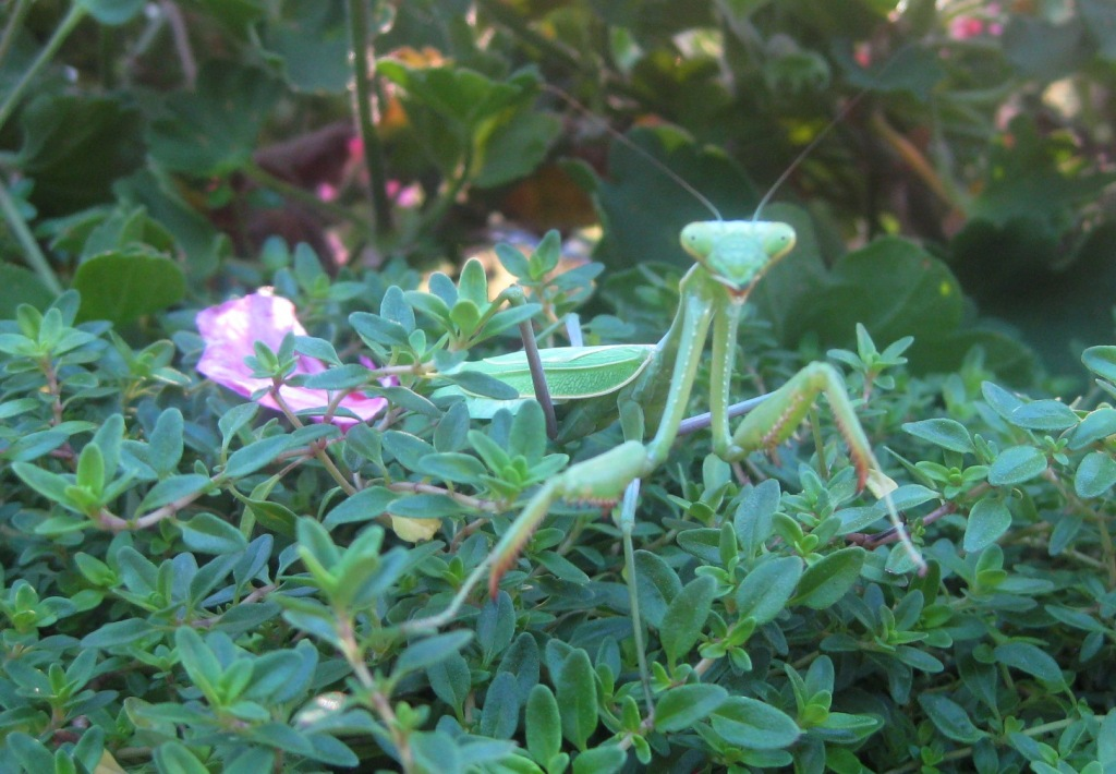 Praying+mantis+facts+male+or+female