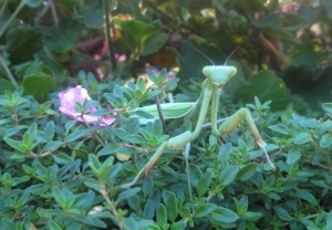 Female Mantis Hello!