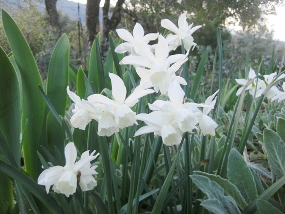 Narcissus 'Ice Wings'