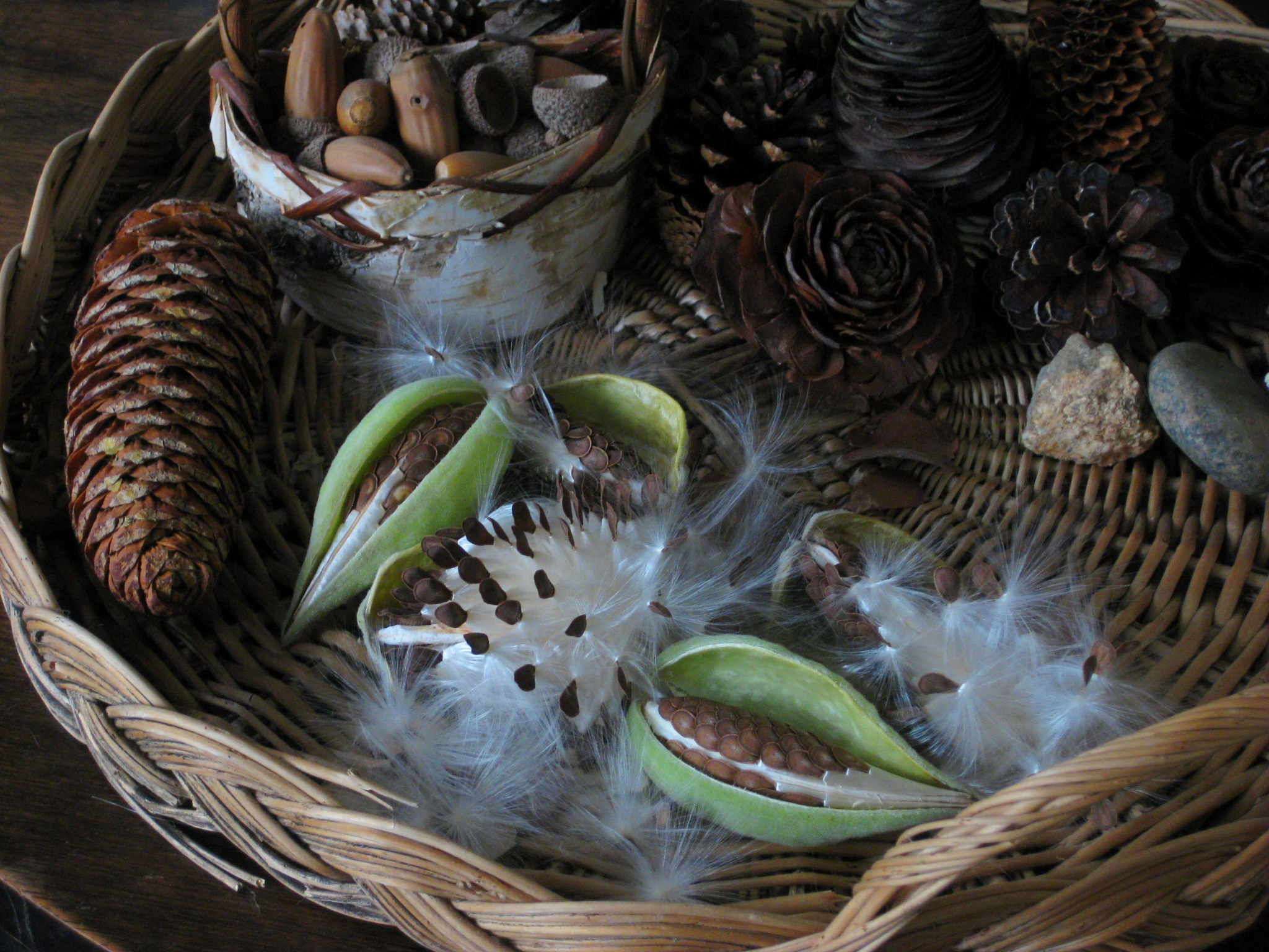 Milkweed seeds puff out in a pattern