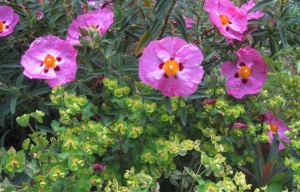 Rockrose and Euphorbia
