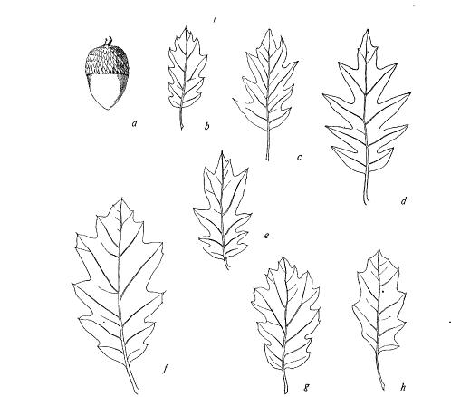 Oracle Oak leaf