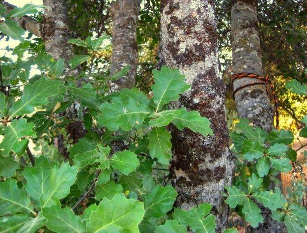 Oracle oak leaves and bark