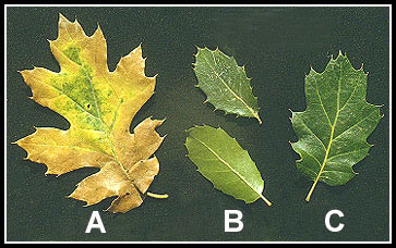 A. California Black Oak (Q. kelloggii), a tall, deciduous tree; B. Interior Live Oak (Q. wislizenii var. frutescens), a large, evergreen shrub; C. Oracle Oak (Q. x morehus)
