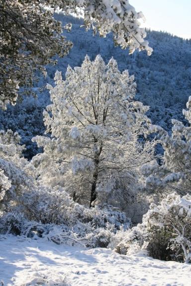 Snowy bull pine