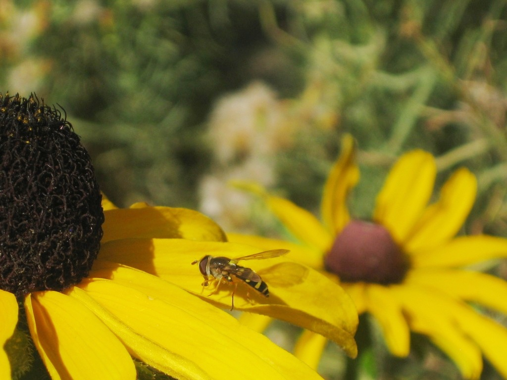 Syrphus, Hover Fly