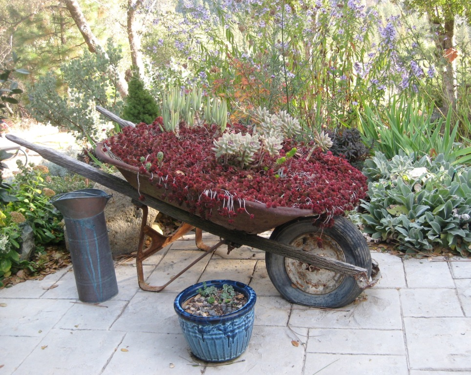 Wheelbarrow of Dragon's blood sedum