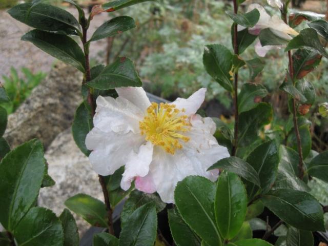 Camellia 'Hana-Jiman'