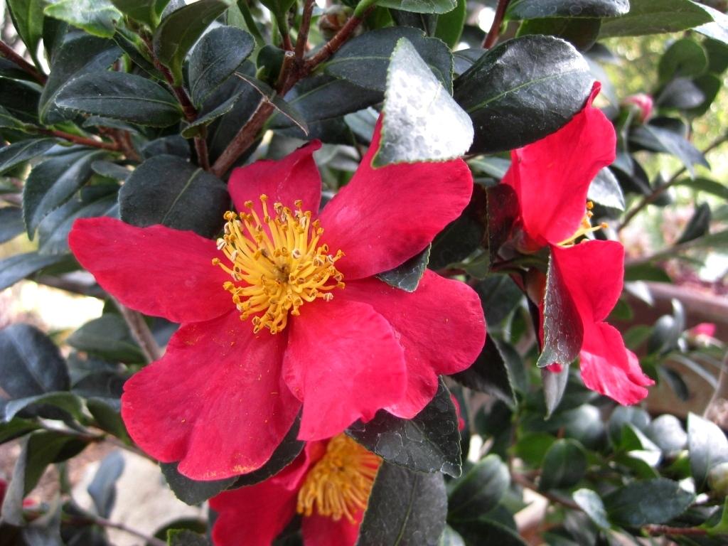 Sasanqua Camellia 'Yuletide'