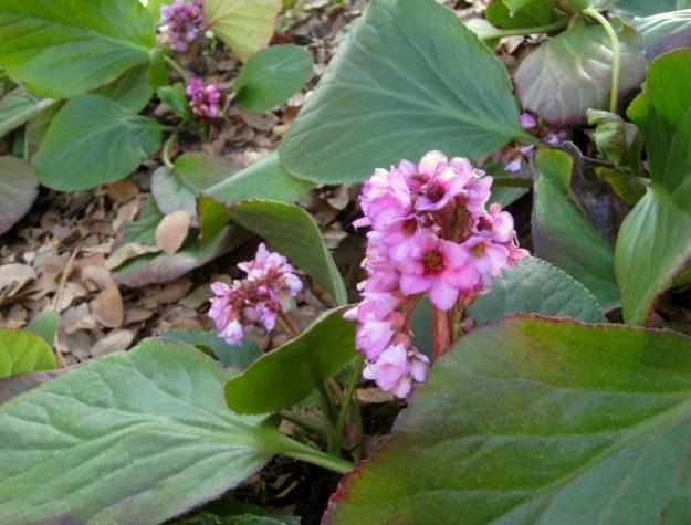 Winter Blooming Bergenia, Bergenia crassifolia
