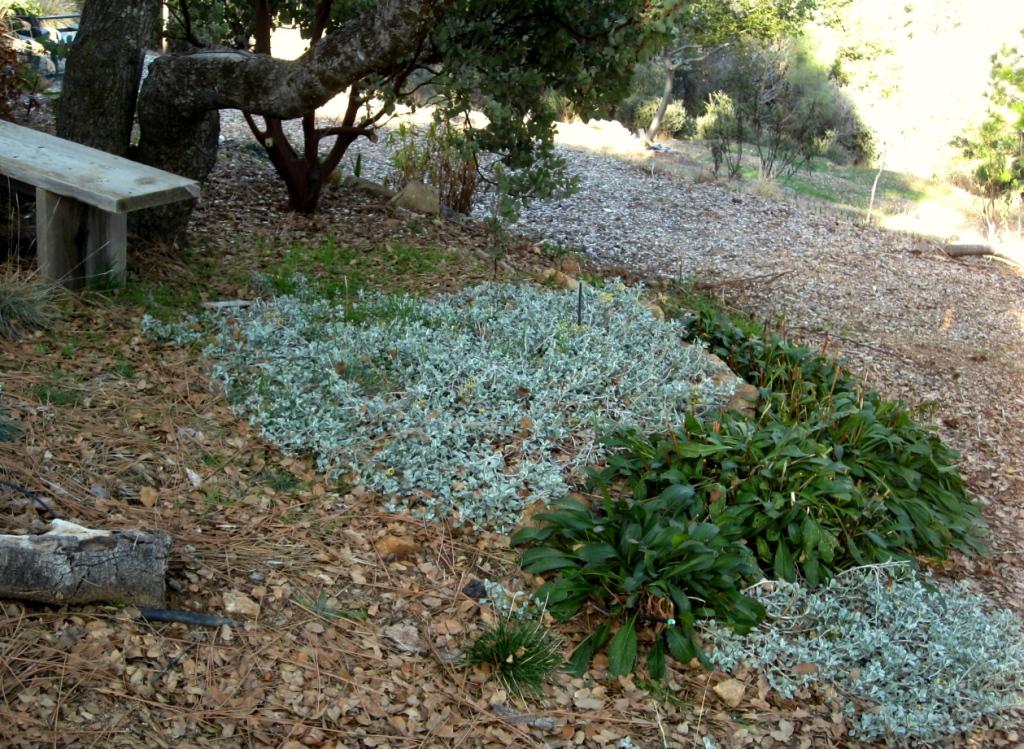 Helichrysum petiolare 'Moe's Silver'