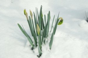 The yellow-green buds turn to 'snow' white blooms.