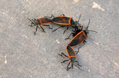Largus californicus Bordered Plant Bug