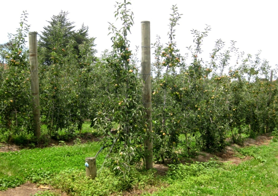 pruning apple trees pictures. Orange Pippin apple trees,