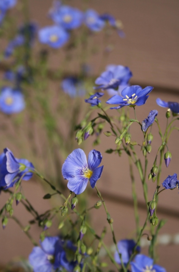 Blue Flax, linum lewisii, a CA native, introduced in my garden
