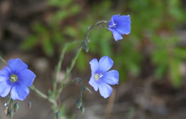 Blue Flax, linum lewisii, not native to my property, but wildish