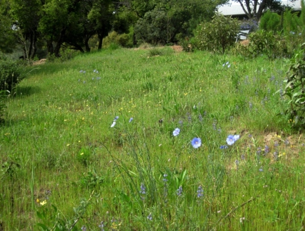 Blue Flax in the meadow