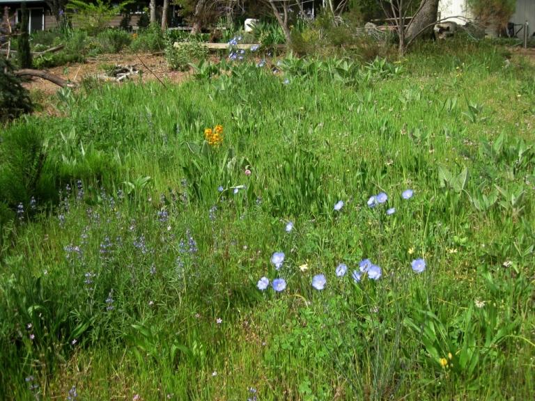 Blue Flax in the meadow. See sky lupine, orange wallflower, a Rose Globe Lily and Mule ears seedlings