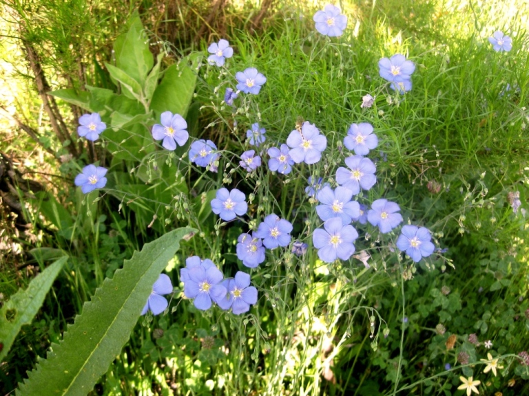 Flax, a perennial, by the side entry in 2009