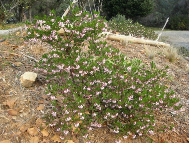 Manzanita 'Howard McMinn', Arctostaphylos densiflora