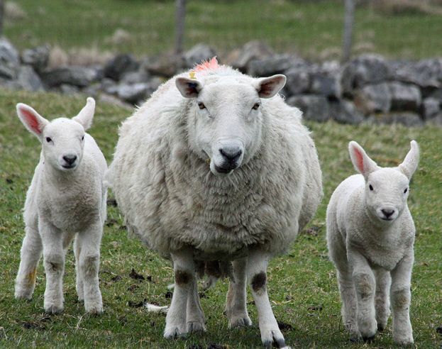 Ceviot ewe and twins on the Isle of Lewis