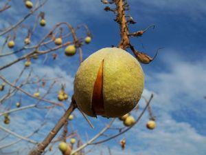 Velvety skin of the seed pods