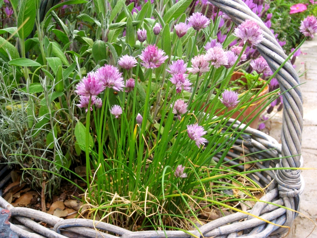 Chives are cut, then grow and cut again until the flowers are allowed to bloom, also edible!