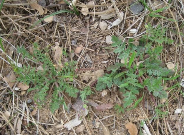 Erodiums, cicutarium (L) and botrys (R)