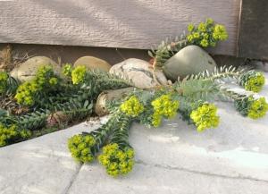 Euphorbia myrsinites Myrtle spurge