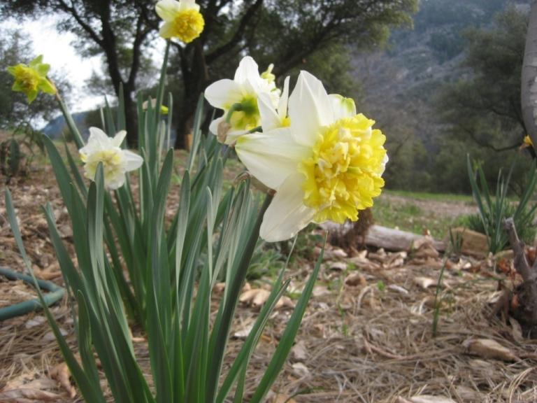 'Ice King' Daffodil