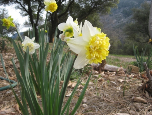 'Ice King' Daffodil