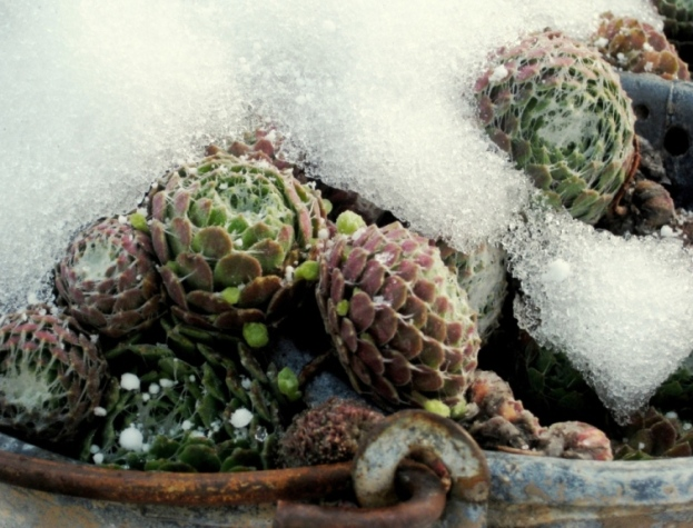 Hens and Chicks 'Cebenese', Sempervivum arachnoideum, with snow.