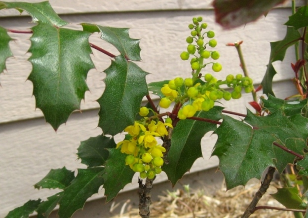 Mahonia aquifolium Oregon Grape