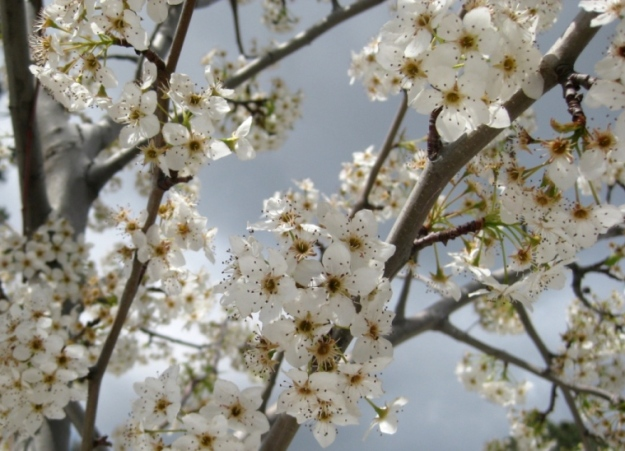 Ornamental Pear 'Aristocrat' under a stromy sky