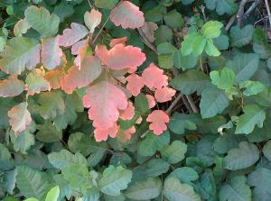 Poison oak, Toxicodendron diversilobum   Beautiful,  idn't it?