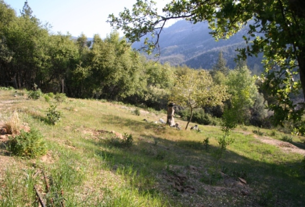 Groomed meadow. Yerba Santa is trimmed, poison oak removed, deer grass added.