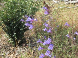 Foothill penstemon, Penstemon heterophyllus