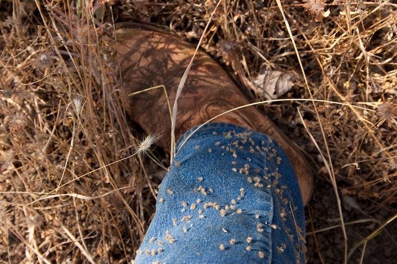 Torilis arvensis, Spreading Hedgeparsley