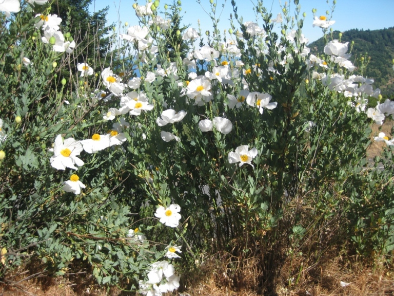 Matilija poppy stands 8 feet tall or more
