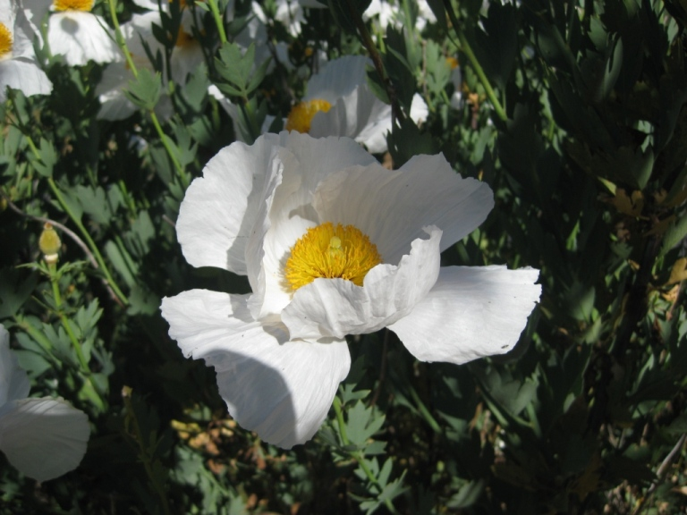 Matilija poppy, 7 inches wide