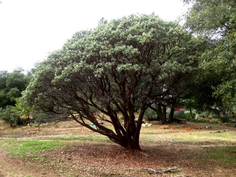 "Manzanita 'circle' can be easily seen and means ""Don't plant here!"""