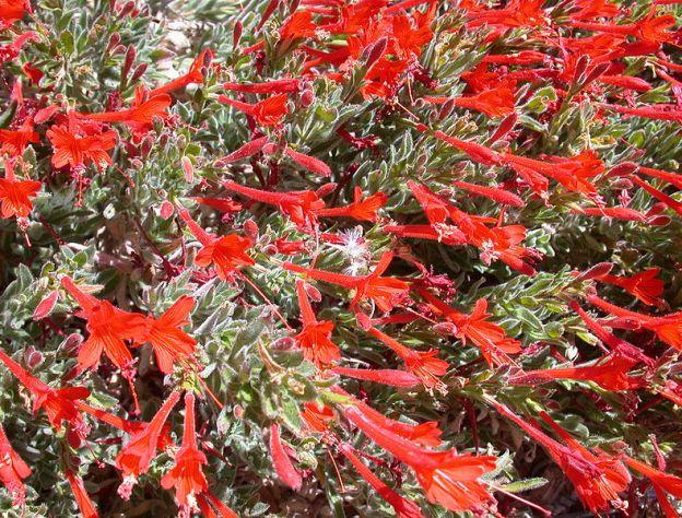 California fuschia Epilobium latifolium 'Everett's Choice'